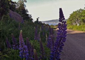 The lupin was growing in the spring and was everywhere! So beautiful!  The mountain range and water behind the lupins is the same view from Gampo Abbey.